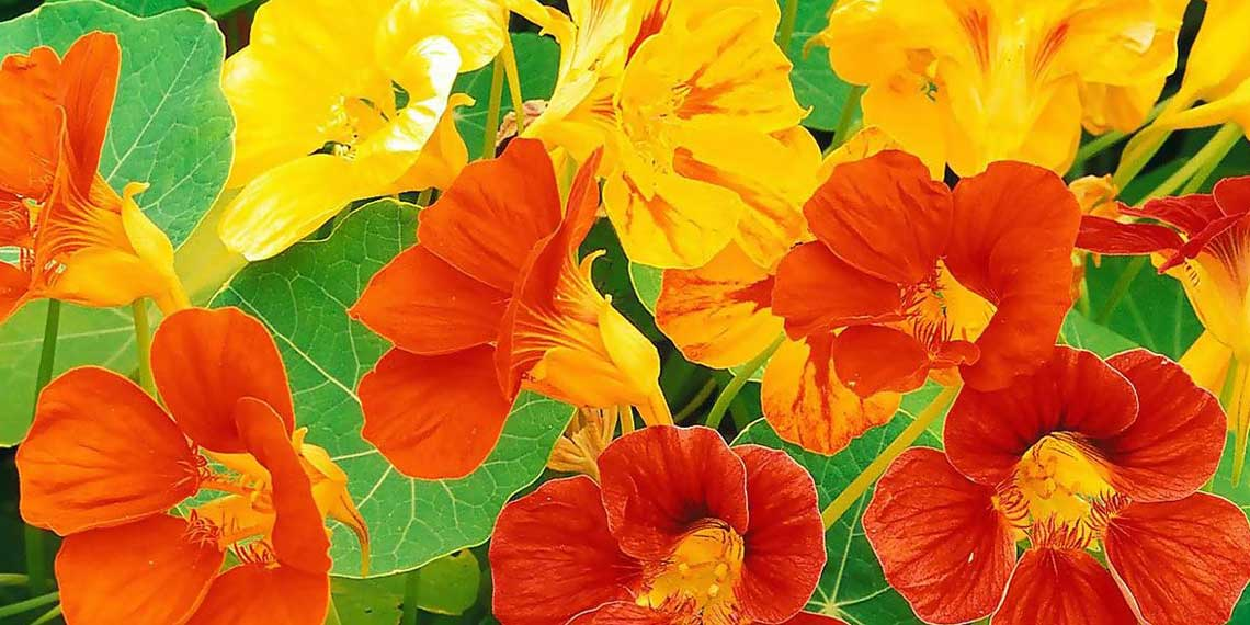 Настурция цветка